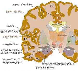 Hypnoscient - Amygdale dans le Cerveau